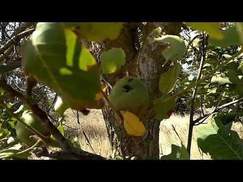 Как растёт миндаль грецкий орех Краснодарский край