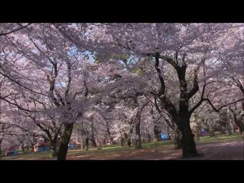 【旅エイター】桜前線『大宮公園・ビデオ映像②』 埼玉県さいたま市