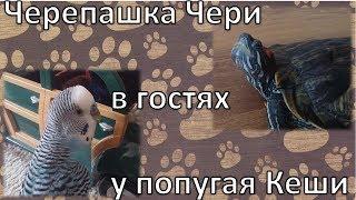 Тайная жизнь домашних животных/Чери в гостях у Кеши