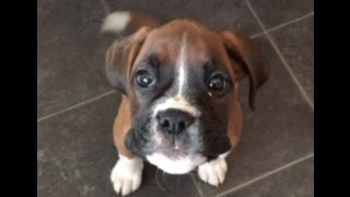 Cute Boxer Dog Puppy Talking And Seeking Attention !