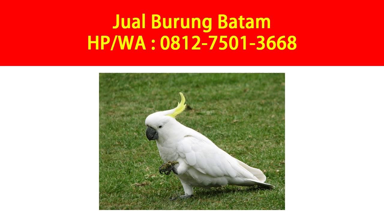 Jual Beli Burung Kicau Batam 0812 7501 3668 Tsel Youtube