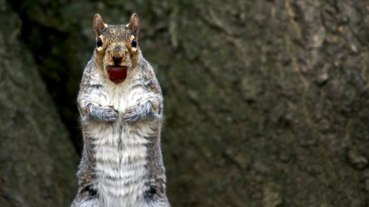 Squirrels Savagely Stealing Acorns   Spy In The Wild   BBC Earth