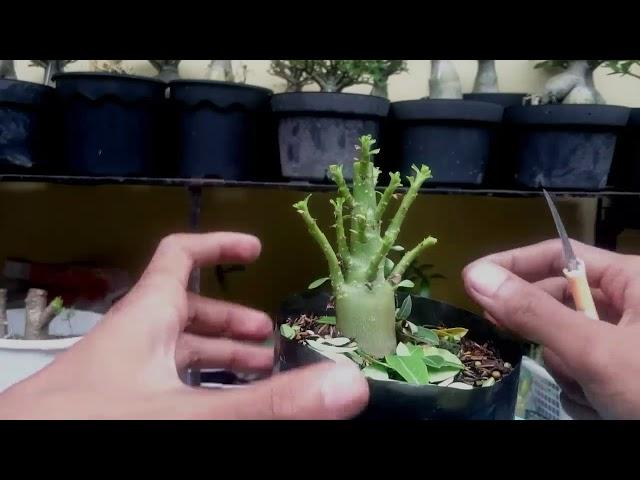 Membuat Mame Adenium Cabang Seribu [ Desert Rose / Rosado Deserto / Kamboja Jepang ]