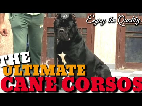 the-ultimate-quality-cane-corso-adults-&-corso-semi-adults.-italian-mastiff.-guard-working-companion