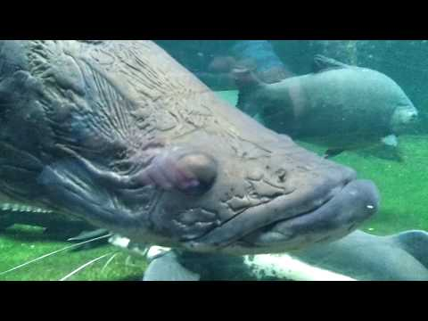 Arapaima (Arapaima gigas) - Berlin Aquarium (HD)