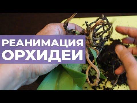 Вопрос: Что делать с орхидеей, если засох цветонос Стоит ли пересаживать?