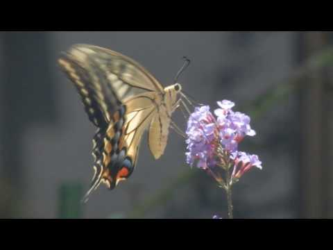 蝶が集まる花ブッドレア