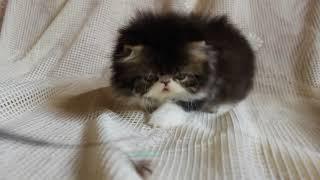 Персидский котенок из питомника Lumicat