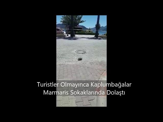 Marmaris'te Domuzlardan Sonra Kaplumbağalar da Şehre İndi!