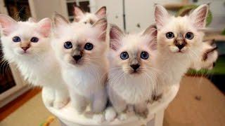 Sacred Birman Kittens, Summer July 2016 (Sacred Birman Cattery marikota.com)