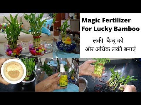 secret-of-lucky-bamboo--care,-fertilizer-&-grow-with-cuttings-||-magic-fertilizer