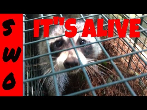 How to Live Trap a Raccoon