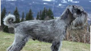 Schnauzer Dog breeds |DIVISION 2| Segment 2
