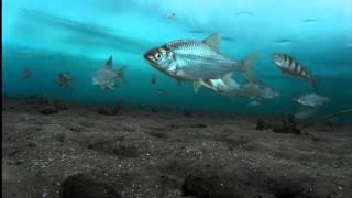 Братское водохранилище подводное видео 19.02.16 ч.1. Fraternal Reservoir Underwater Video.