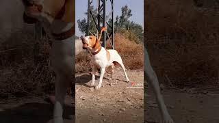 Beautiful Pointer Dog