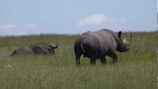 Masai Mara - Black Rhino Vs Buffalo - Rhino avoid confrontation with male Buffalo