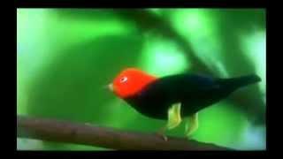 Uirapuru Vermelho o pássaro dançarino