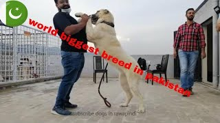 world biggest dog breed in pakistan.king of ALL central Asian shepherds dog breeds