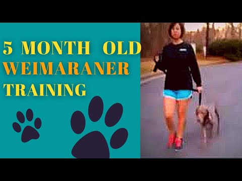 5 Month Old Jumping & Biting Weimaraner - Dog Training Peachtree City