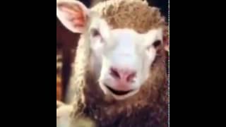 Mouton rescapé de l'aid