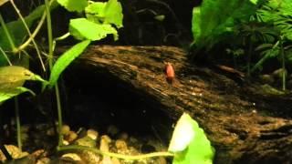 125 litre planted aquarium with neon tetra rummynose tetra shrimp male betta