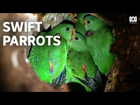 Swift Parrots | An Endangered Species' Remarkable Recovery