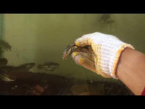 anakan-toman-(giant-snakehead)-makan-kodok-sawah-rakus-di-akuarium