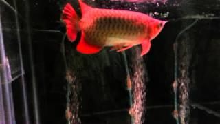 "Arwana Super Red #My ""Red Dragon"""