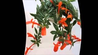 видео Колумнея выращивание и уход