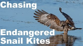 nikon d500 chasing endangered snail kites wildlife photography