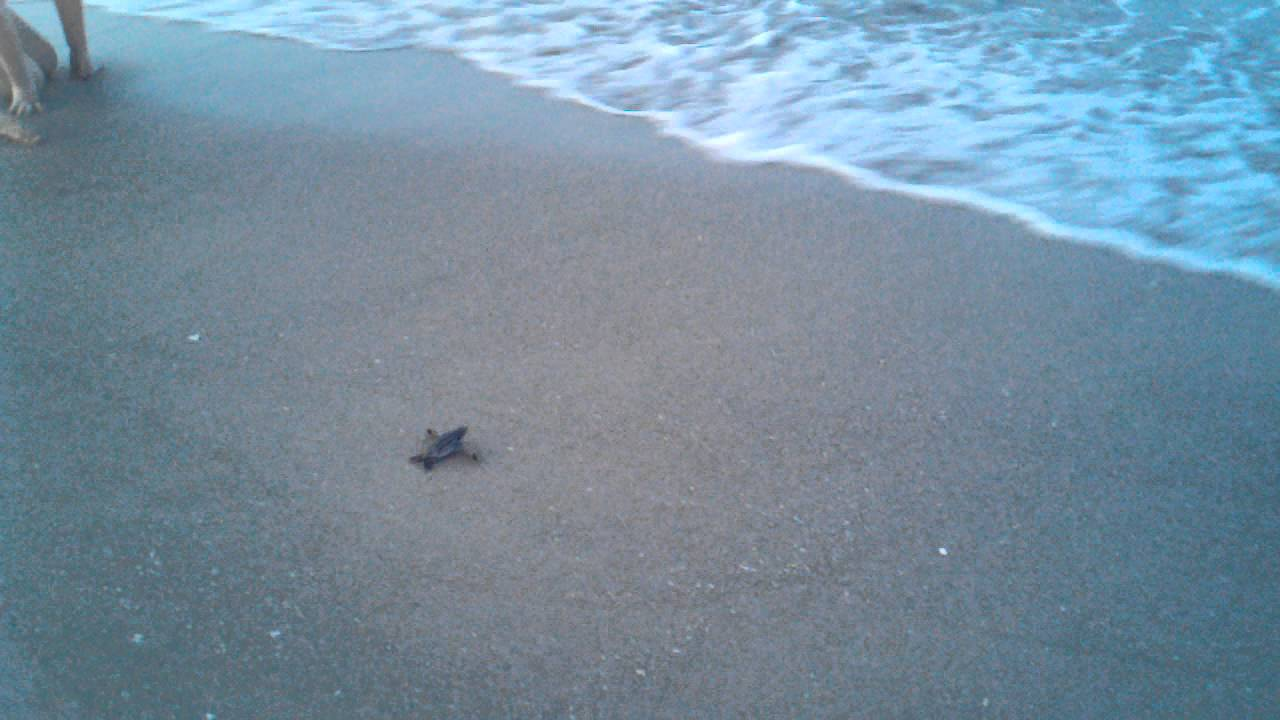 Baby sea turtle going into the ocean to swim for the first time baby sea turtle going into the ocean to swim for the first time youtube publicscrutiny Image collections