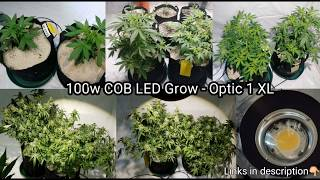 100w COB LED Grow - Týždeň # 8 Flower - Optic 1 XL