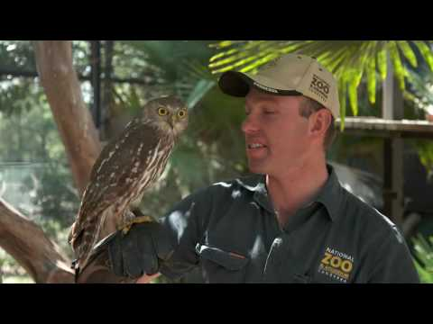 Barking Owl - 72 Cutest Animals - National Zoo, Canberra