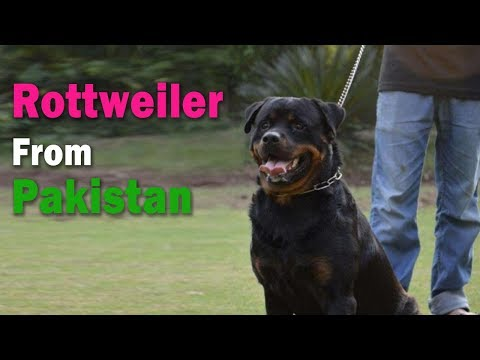 rottweiler dogs in pakistan | Best quality rottweiler dogs