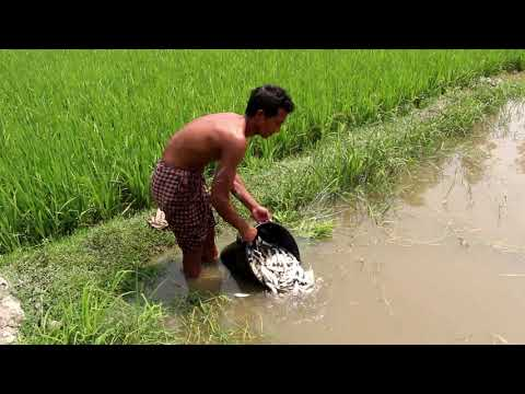 Growing Rice And Fish Together | Rice And Fish Mixed Farming In South Asia | 3rd Eye Unfold
