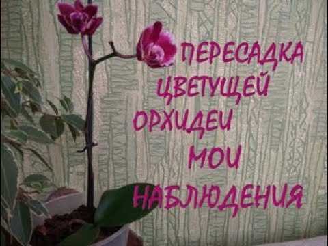 Спатифиллум (Женское счастье). Уход 60