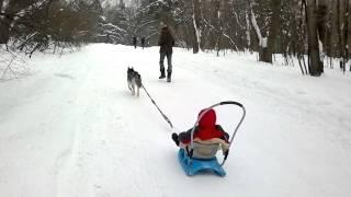 Берта - ездовая собака