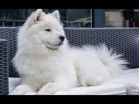 CUTEST SAMOYED DOG HOWLING!!