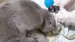 РОДЫ. Шотландская вислоухая кошка !!!!! / LABOUR Scottish Fold !!!!!