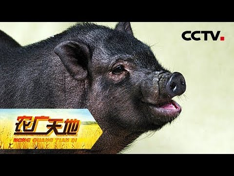 《农广天地》发酵床养殖苏太猪 20180831CCTV农业