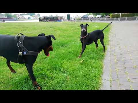 Chester the Manchester Terrier of Ameland meets Chester of Hasselt