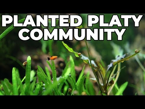 75 Gallon Planted Platy Community Tank Highlight