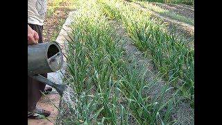 Основные приёмы выращивания озимого чеснока укр.