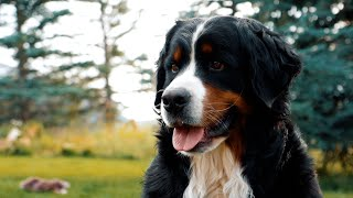 Life With 18 Bernese Mountain Dogs: MEET OUR DOGS || Part 1