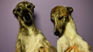Whippet Problems - Hot Problems Parody