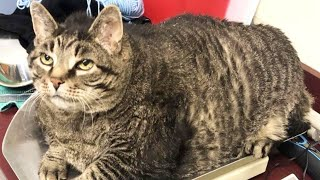 30-Pound 'Chonky' Cat Finds His Forever Home