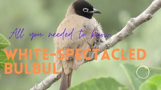 Whitespectacled Bulbul  most common member of the bulbul family in Israel  and Lebanon