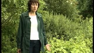 видео Как вырастить ежевику в саду