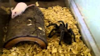 Пауки убивают мышей