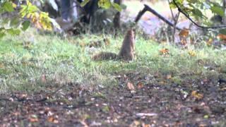 A squirrel in a Dutch wood Een eekhoorntje in het bos op de Hoge Veluwe Gelderland